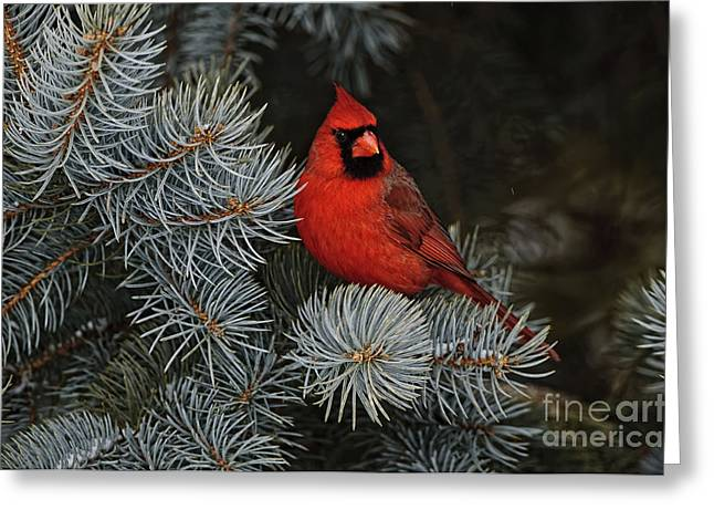 Northern Cardinal In Spruce Tree. Greeting Card