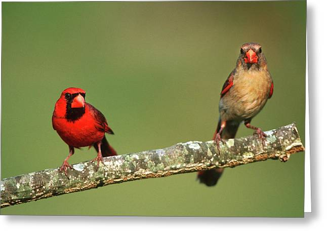 Northern Cardinals (cardinalis Greeting Card