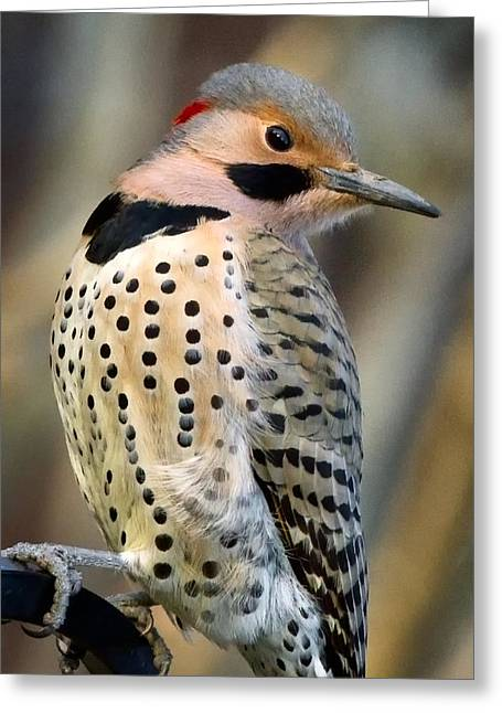Northern Flicker Greeting Card by Bill Wakeley