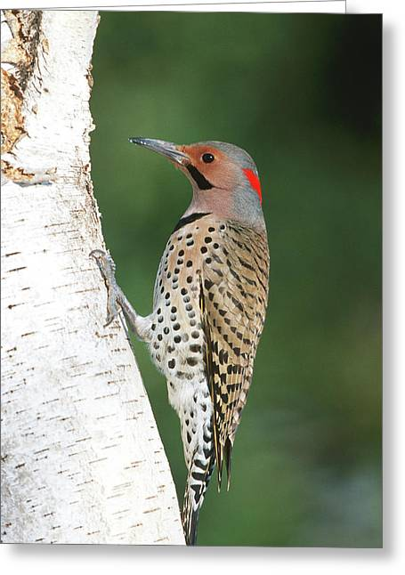 Northern Flicker (colaptes Auratus Greeting Card