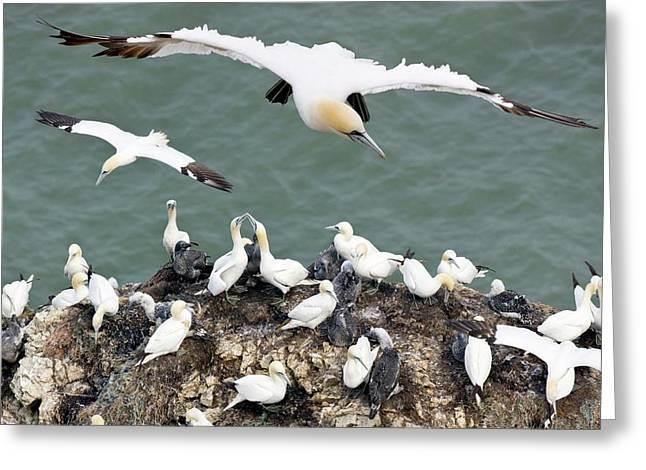 Northern Gannet Colony Greeting Card by Steve Allen/science Photo Library
