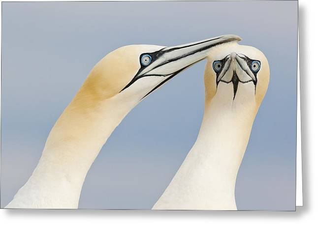 Northern Gannets Greeting Saltee Island Greeting Card