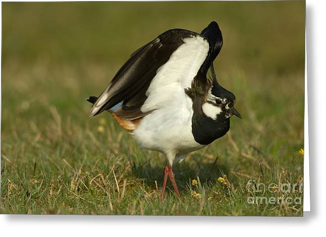 Northern Lapwing Greeting Card by Helmut Pieper