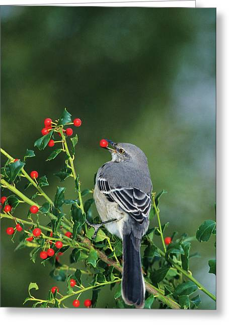 Northern Mockingbird (mimus Polyglottos Greeting Card by Richard and Susan Day