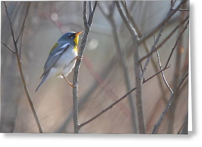 Northern Parula Greeting Card by James Petersen