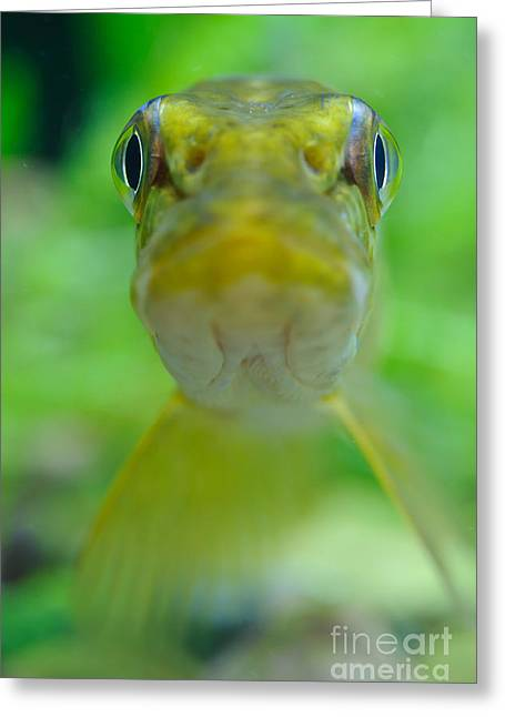 Northern Pike Greeting Card by Willi Rolfes