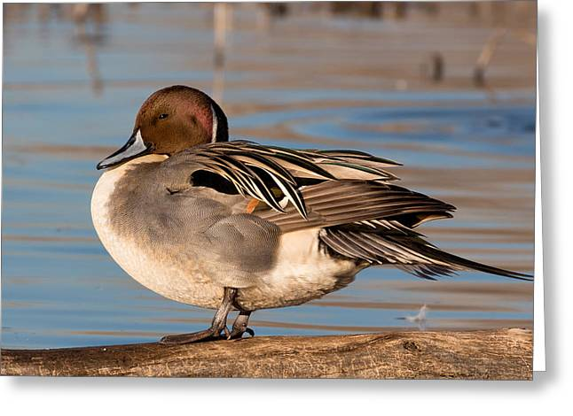 Northern Pintail Drake Greeting Card