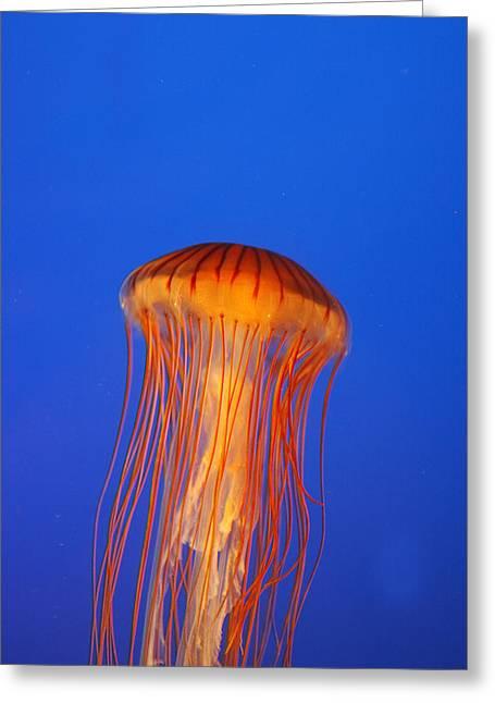 Northern Sea Nettle Greeting Card