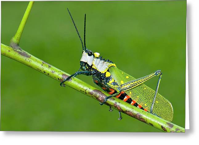 Northern Spotted Grasshopper Greeting Card