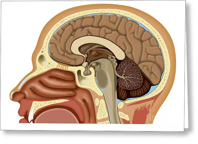 Nose And Brain Anatomy, Artwork Greeting Card by Art for Science