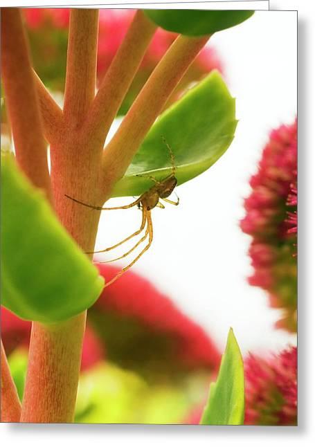 Nursery Web Spider Greeting Card by David Aubrey