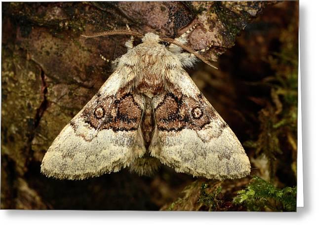 Nut-tree Tussock Moth Greeting Card by Nigel Downer