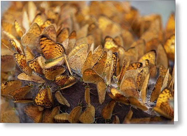 Nymphalid Butterflies Salt Puddle Feeding Greeting Card by Paul D Stewart