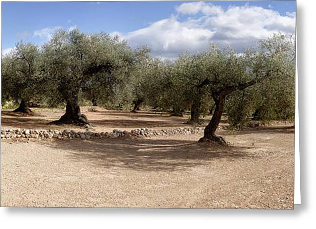 Olive Grove, Vinaros, Province Greeting Card by Panoramic Images