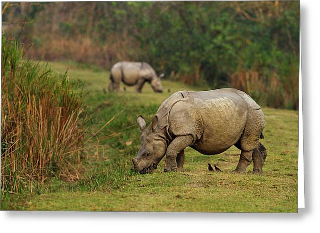One-horned Rhinoceros Feeding Greeting Card