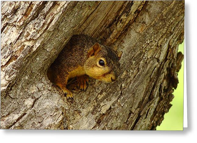 One Too Many Acorns Greeting Card by Robert Frederick