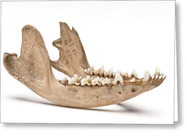 Opossum Jawbone Greeting Card by Ucl, Grant Museum Of Zoology