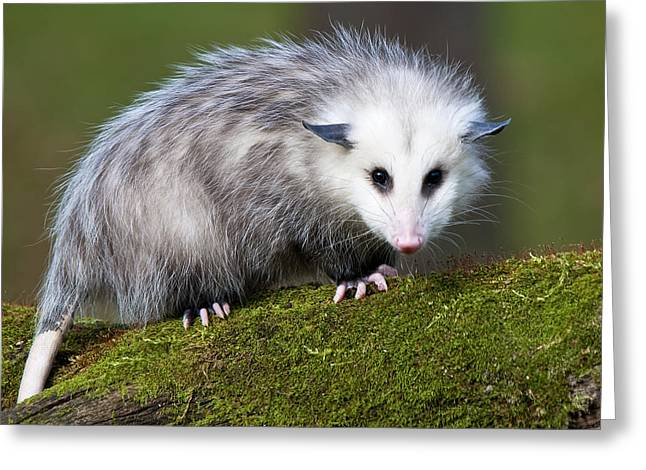 Opossum  Greeting Card by Paul Cannon