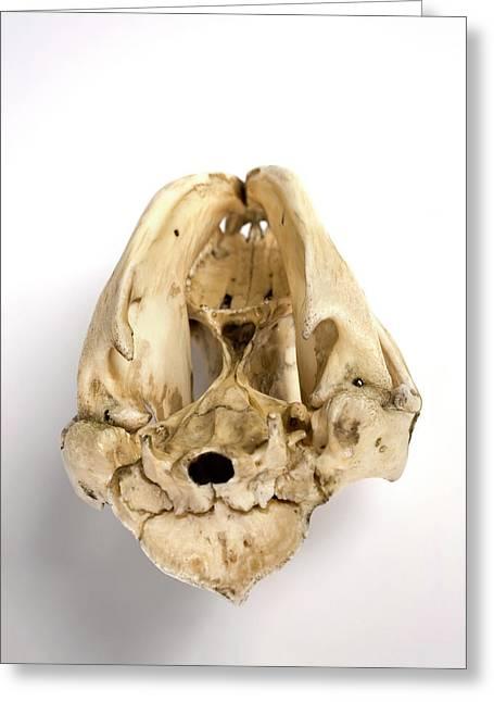 Opossum Skull Greeting Card
