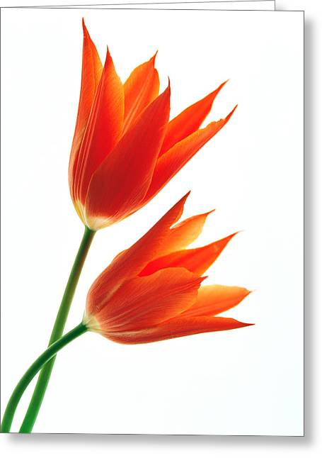 Orange Flowers Against White Background Greeting Card