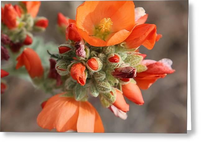 Orange Globe Mallow Closeup Greeting Card by Carol Groenen