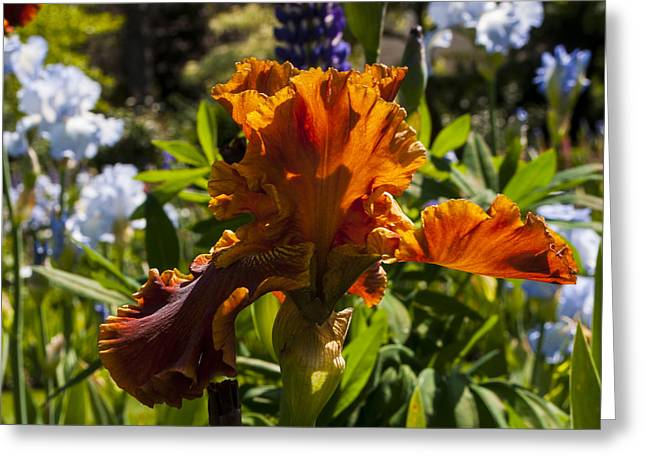 Orange Iris Greeting Card