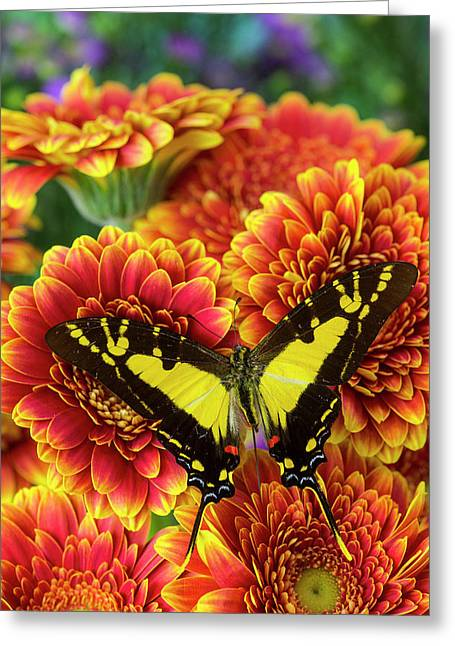 Orange Kite Swallowtail Butterfly Greeting Card by Darrell Gulin