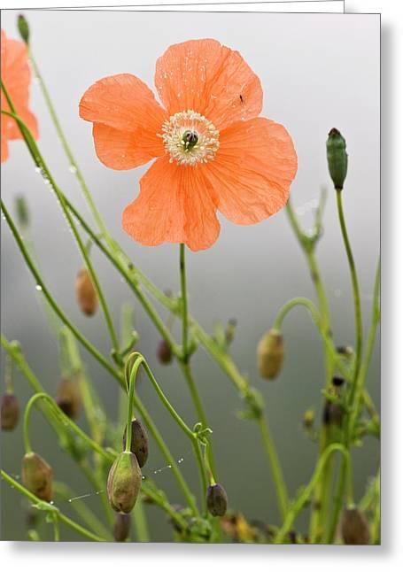 Orange Poppy (papaver Fugax) In Flower Greeting Card