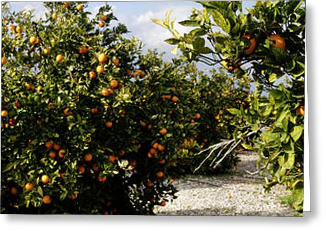 Orange Trees In A Field, Vinaros Greeting Card by Panoramic Images