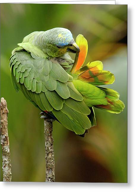 Orange-winged Parrot Amazona Amazonica Greeting Card by Pete Oxford