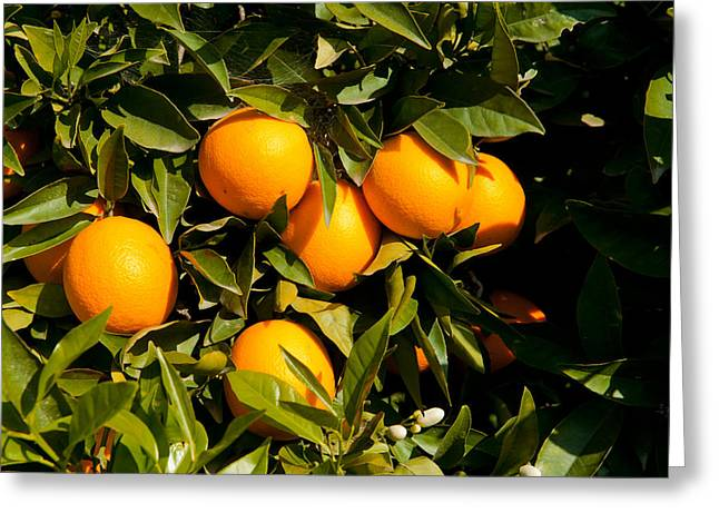 Oranges On A Tree, Santa Paula, Ventura Greeting Card by Panoramic Images