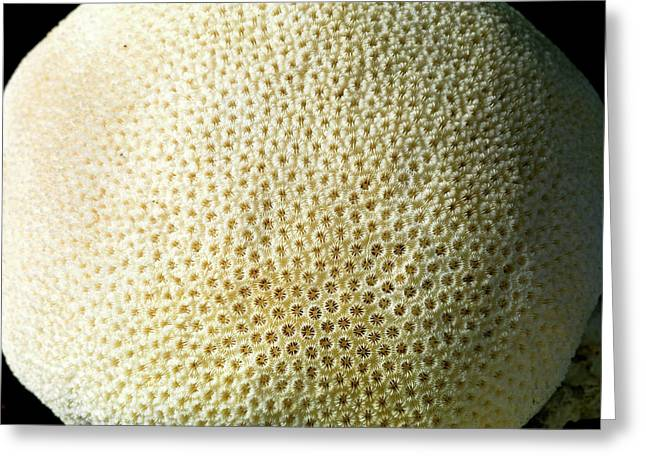 Orbicella Annularis Greeting Card