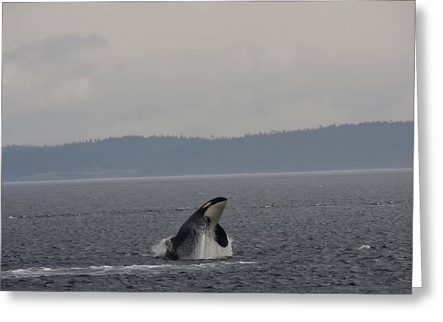 Orca - 0010 Greeting Card by S and S Photo