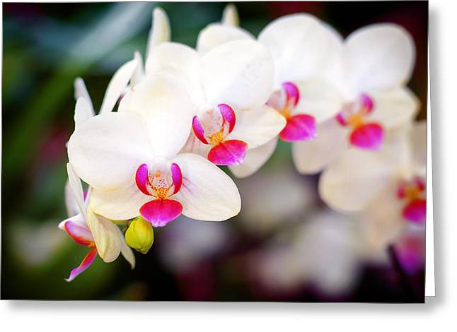 Orchid Beauty Greeting Card by Tammy Smith