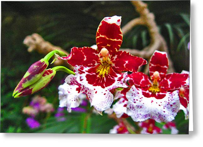 Orchid. Canary Islands. Greeting Card