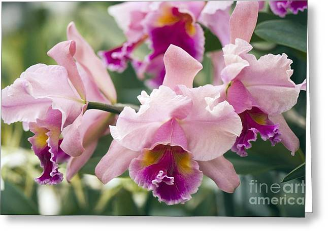 Orchid Cattleya Sp Greeting Card by Maria Mosolova