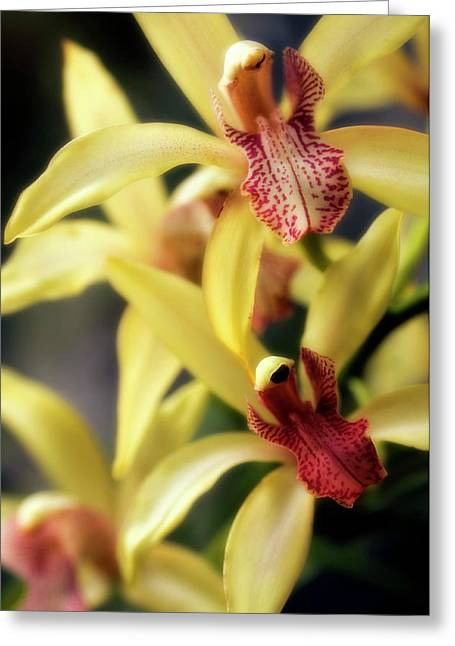 Orchid (cymbidium Hybrid) Greeting Card