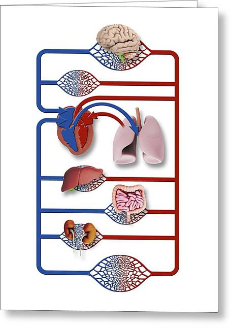Organs And Blood Circulation Greeting Card by Mikkel Juul Jensen