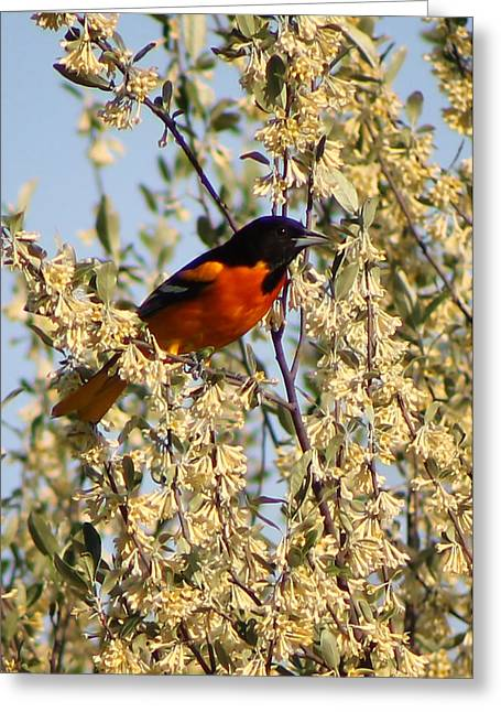 Oriole II Greeting Card