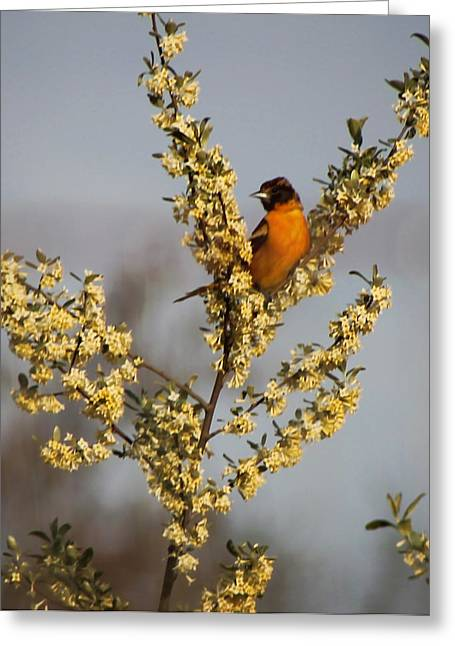 Oriole V Greeting Card