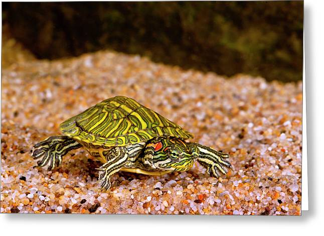 Ornate Red Ear Turtle, Chrysemys Greeting Card