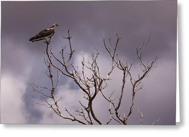 Osprey Greeting Card by Jonathan Gewirtz