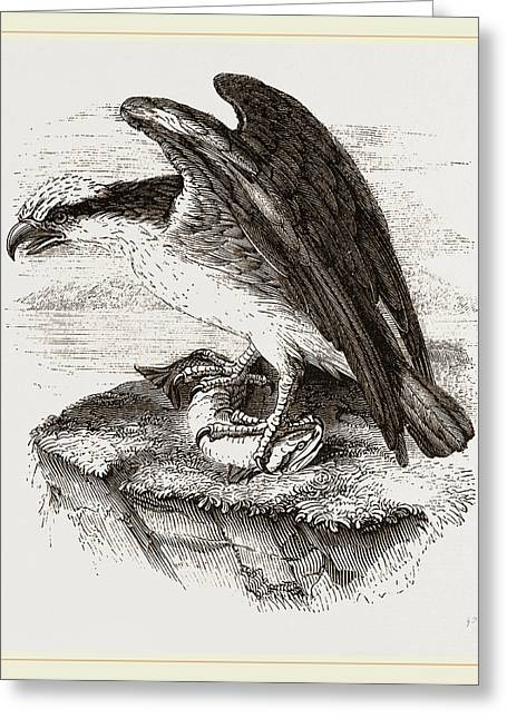 Osprey Greeting Card by Litz Collection