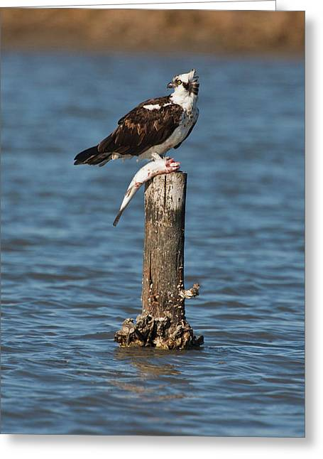 Osprey (pandion Haliaetus Greeting Card by Larry Ditto