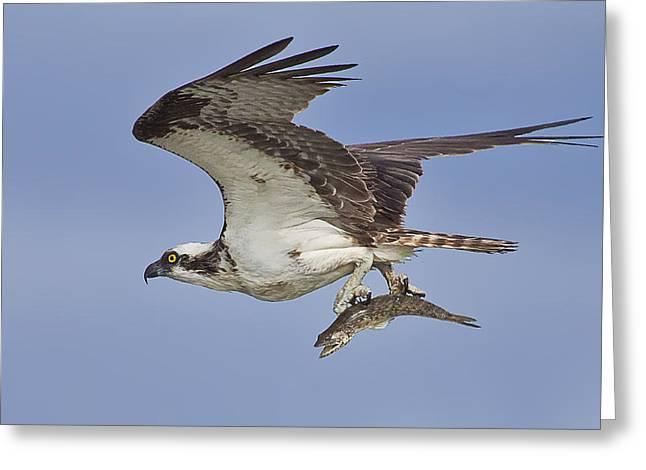 Osprey With Fish  Greeting Card by Regina  Williams