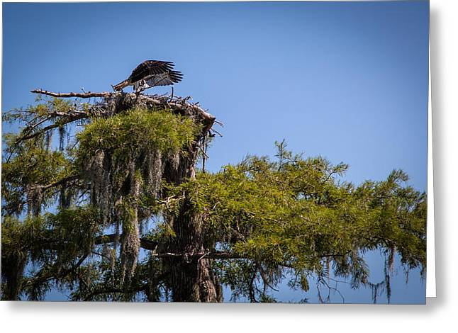 Osprey With Wings Forward Greeting Card