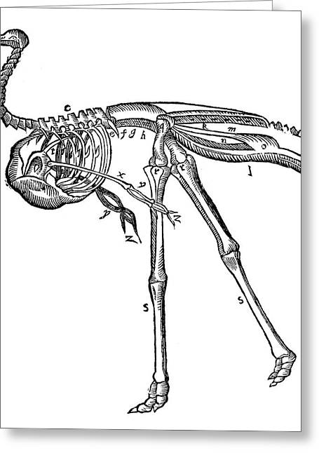 Ostrich, 16th Century Greeting Card