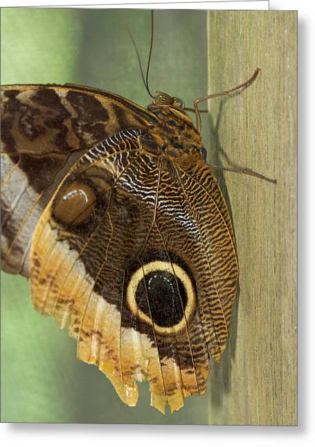 Owl-eye Butterfly (caligo Greeting Card by William Sutton