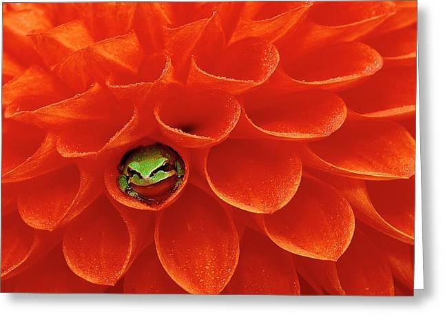 Pacific Chorus Frog In Dahlia Greeting Card by Jaynes Gallery