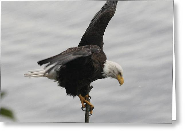 Pacific Northwest Eagle II Greeting Card by Mary Gaines
